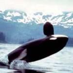 Orcas in Norwegen- eine touristische Attraktion
