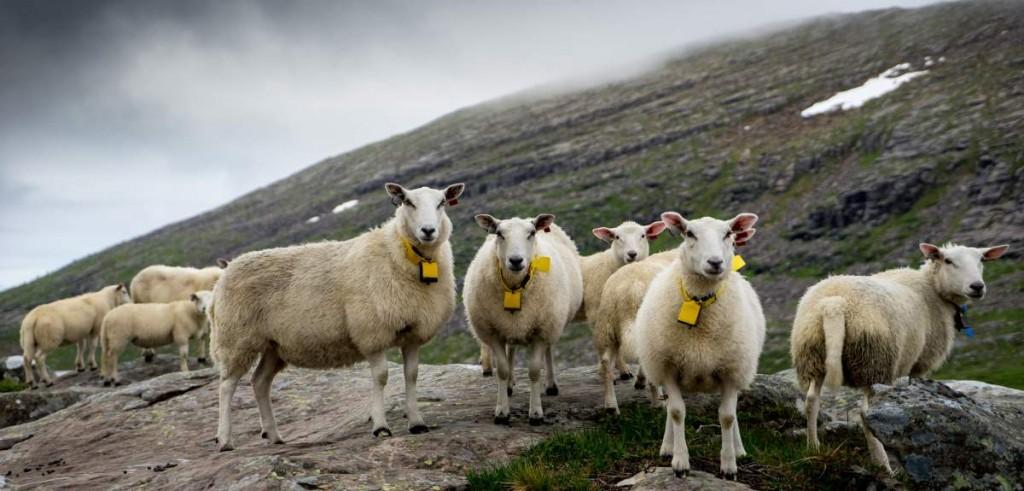 Schafe im Dienst des Tourismus-Marketings. Foto: Visit Norway.