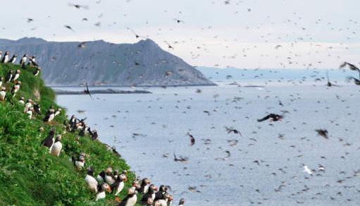 Beobachtungs-Hotspot mit Papageientauchern. Foto: Asgeir Helgestad / Visit Norway.