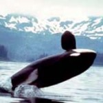 Orcas in Norwegen- eine touristische Attraktion