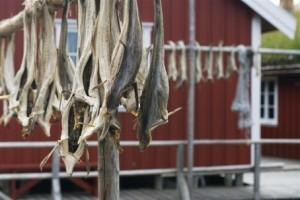 Stockfisch - jetzt mit geschützter geographischer Markenbezeichnung. Foto: Visit Norway